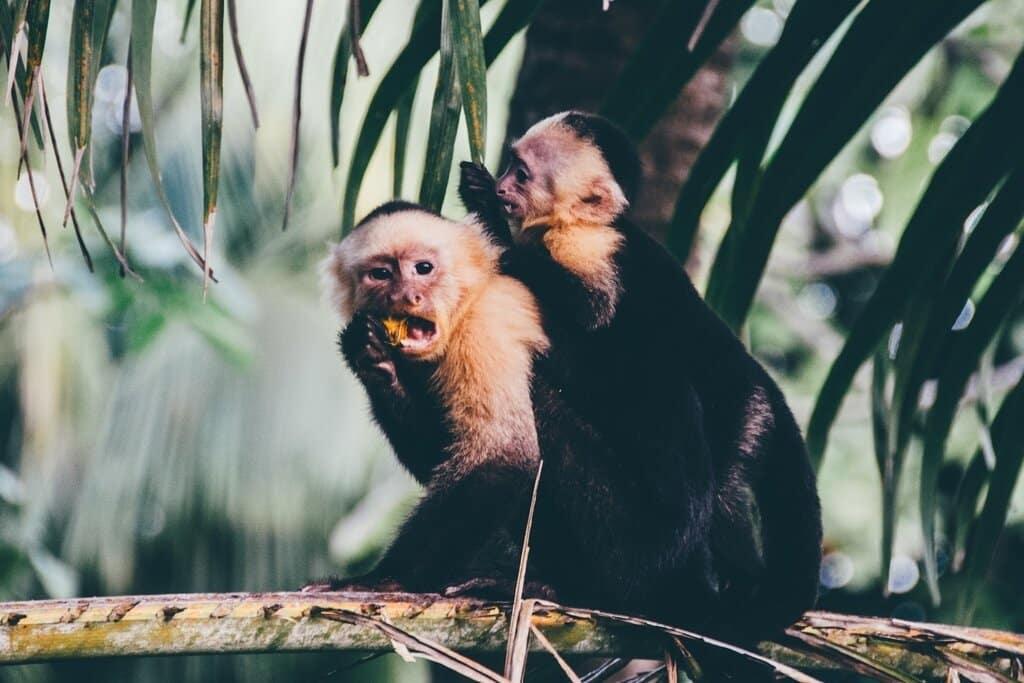 monkeys-in-trees Costa Rica
