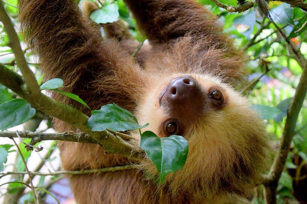sloth-in-rainforest