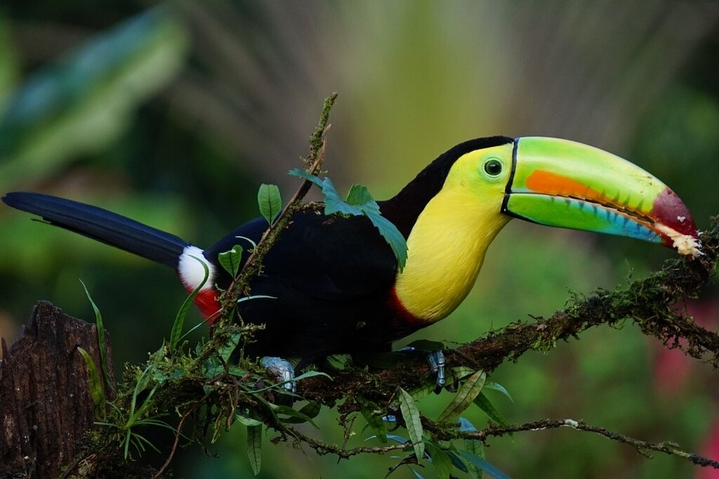 toucan-in-costa-rica-rainforest